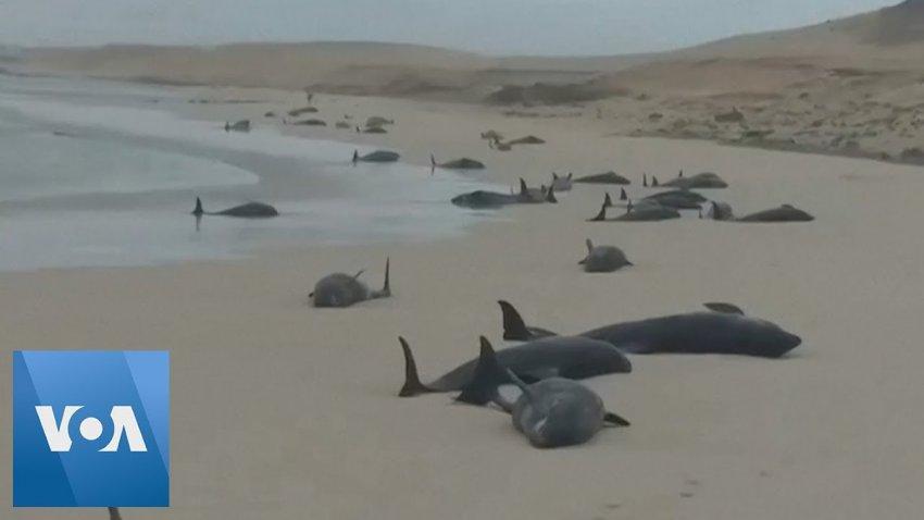 В Атлантике киты массово выбрасываются на берег: что происходит?