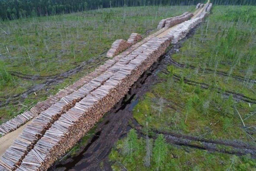 Из миллиона гектаров - тайга. Кража Архангельского леса