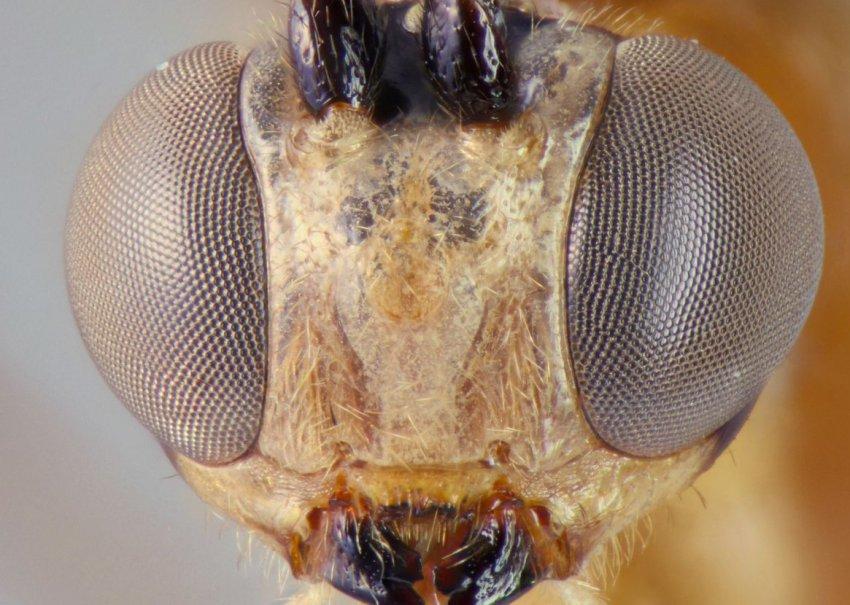 Осы-паразиты в джунглях Уганды: ученые нашли неизвестных созданий длиной 10 см
