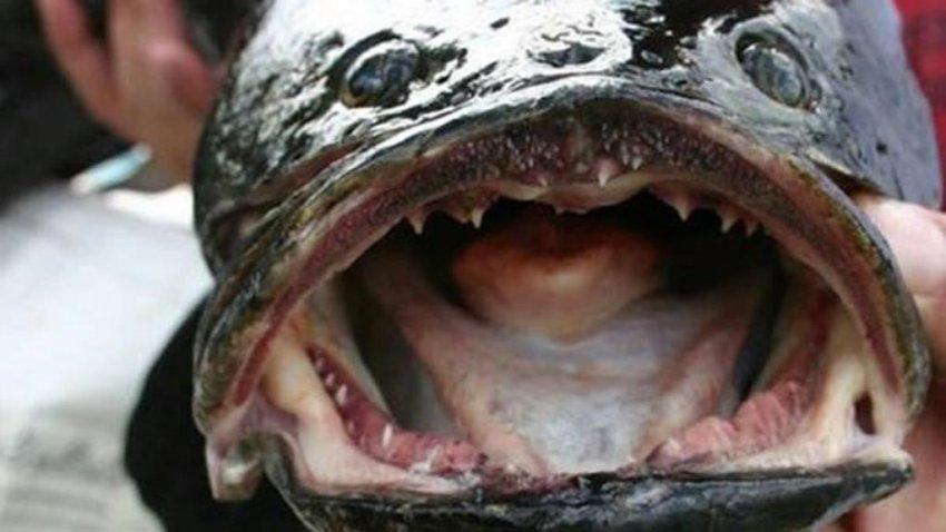 США атаковали хищные рыбы, которые ползают по суше