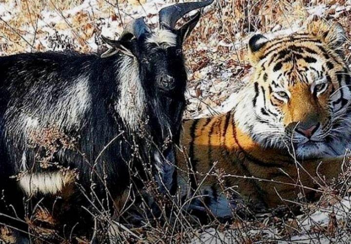 Умер козел Тимур, друг тигра Амура