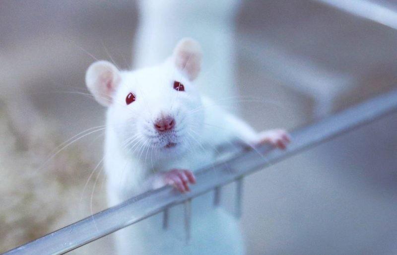 Как встретить Новый 2020 год, чтобы задобрить Белую Металлическую Крысу