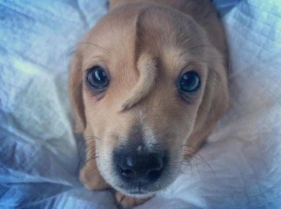 В американском приюте появился щенок-единорог