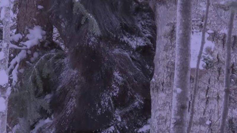 В канадском лесу запечатлели огромного снежного человека