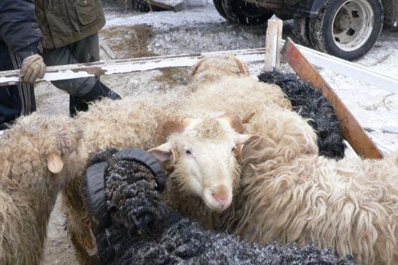 В Бурятии овцекрадом оказался проворный наркоман