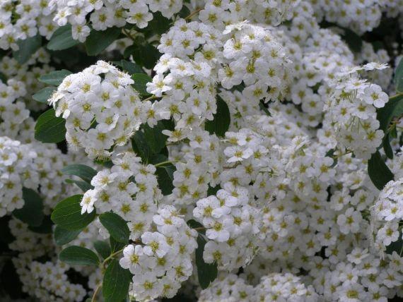 Ученые из Сибири нашли растение с высокой противовирусной активностью