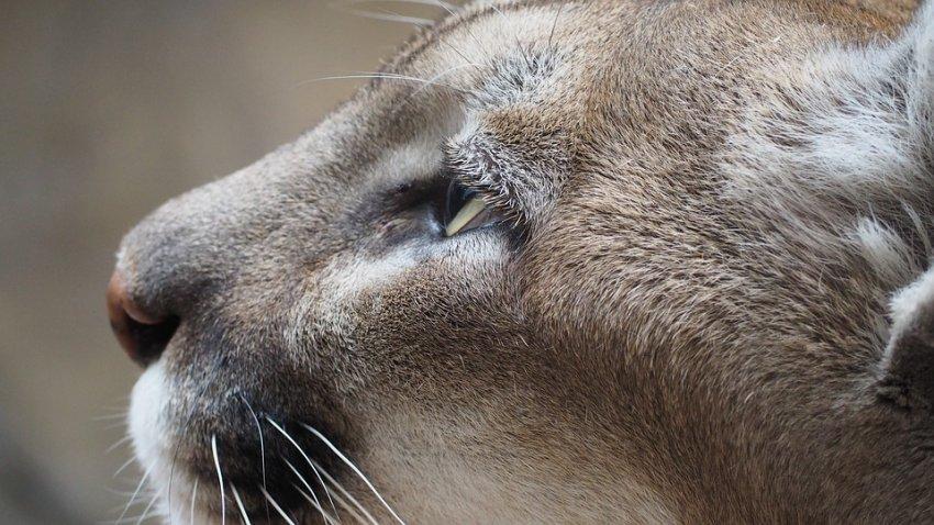 Среди кошачьих в Йеллоустоуне распространяется эпидемия чумы