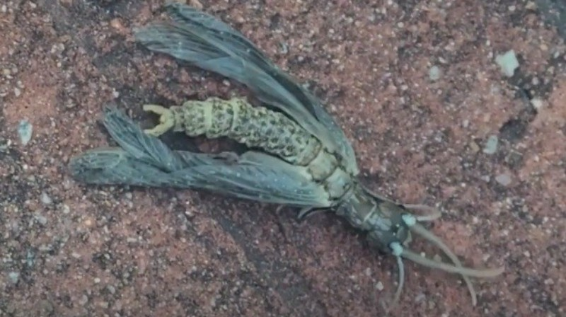 В штате Джорджия обнаружили «инопланетное» насекомое