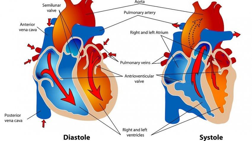Ученые назвали продукт, который очень полезен для сердца