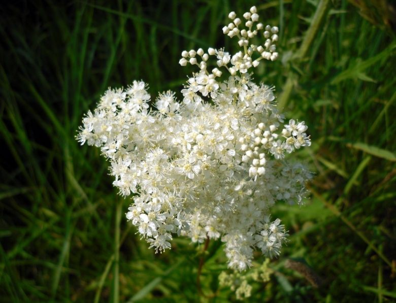 Славянский букет лечебных трав от бабы Травкиной
