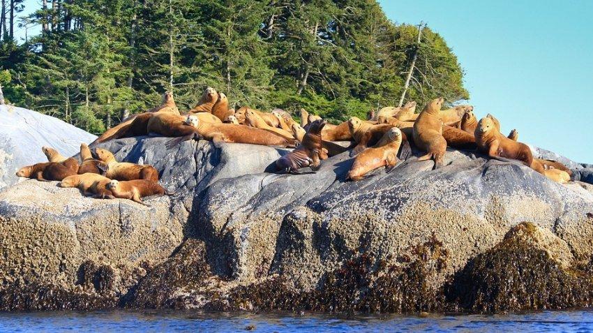 Обезглавленных морских львов находят на побережье Канады: обстоятельства гибели животных неизвестны