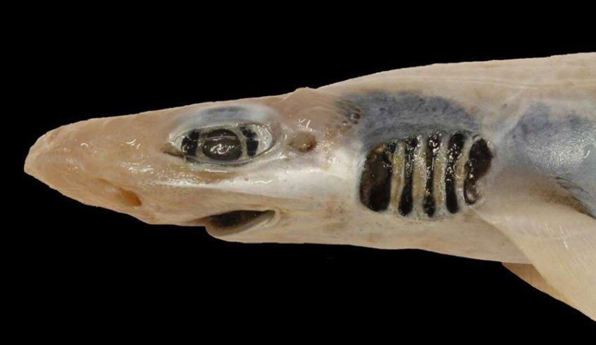 В море у берегов Сардинии обнаружили акулу без кожи и зубов