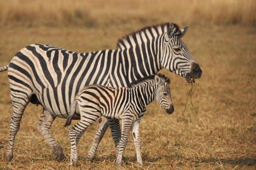 Почему люди так и не оседлали зебру?
