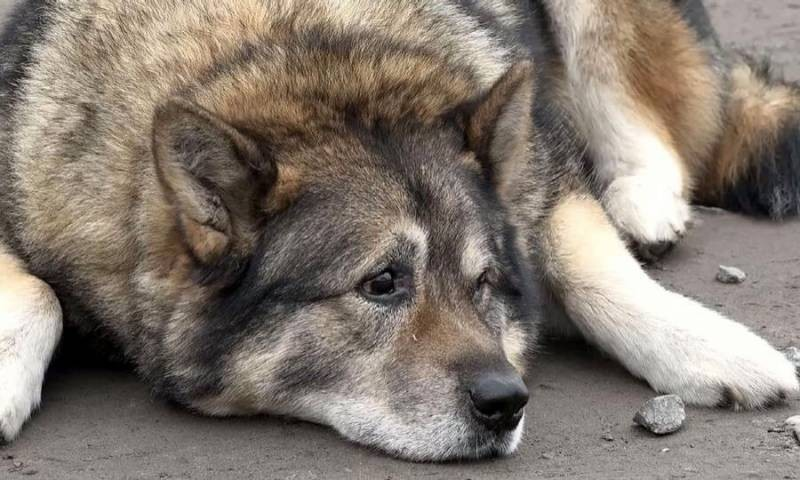 В Подмосковье пойман и помещен в приют пугающий людей волк