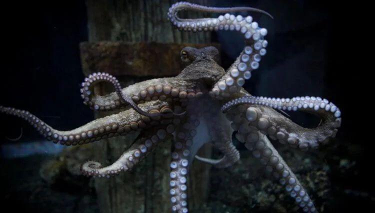 Удивительные интеллектуальные способности осьминогов