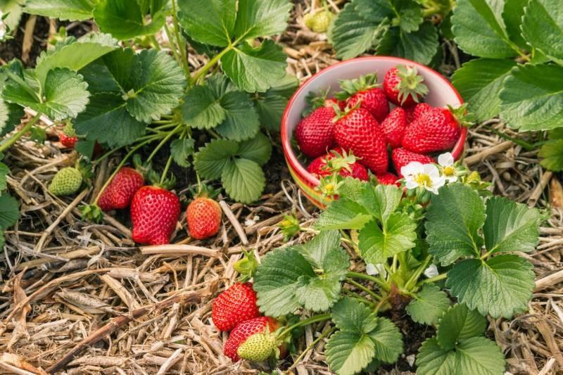 Как нужно ухаживать за клубникой весной, чтобы урожай был богатый