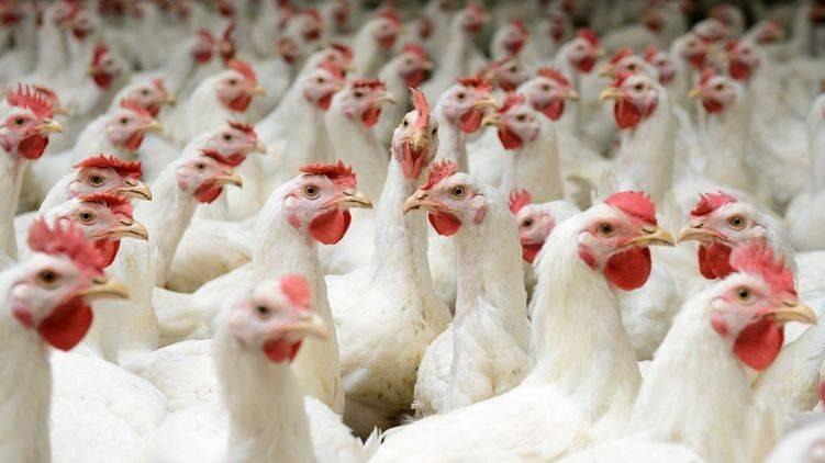 Учёные предупреждают об опасности птичьего гриппа
