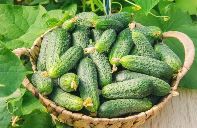 Причины возникновения горького вкуса у огурцов