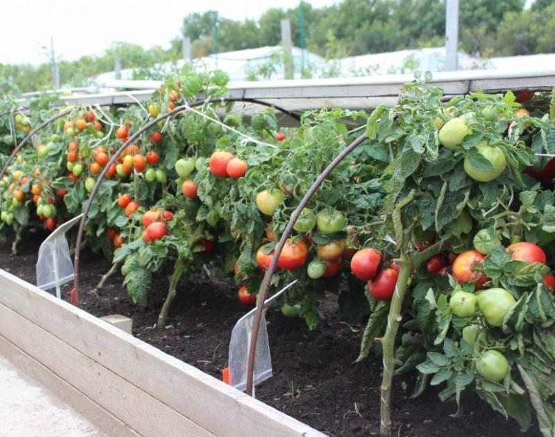 Способы, которые помогут быстро подвязать помидоры в открытом грунте