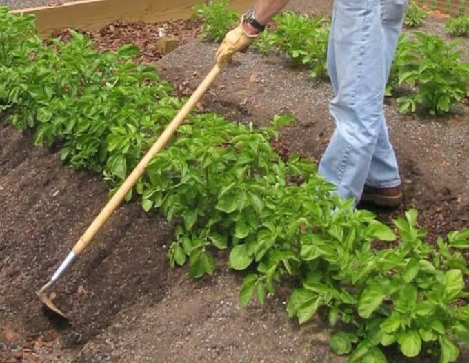 Рекомендации, которые могут помочь собрать богатый урожай картофеля и томатов