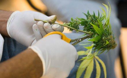В грузии могут легализовать марихуану марихуана конопля фото
