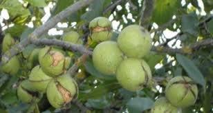 В Кыргызстане предлагают создавать ореховые плантации