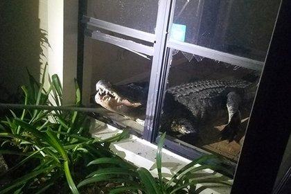 В США трехметровый аллигатор выбил окно и ворвался в дом